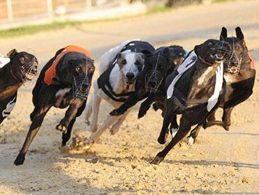 Towcester stage greyhound racing on Saturday