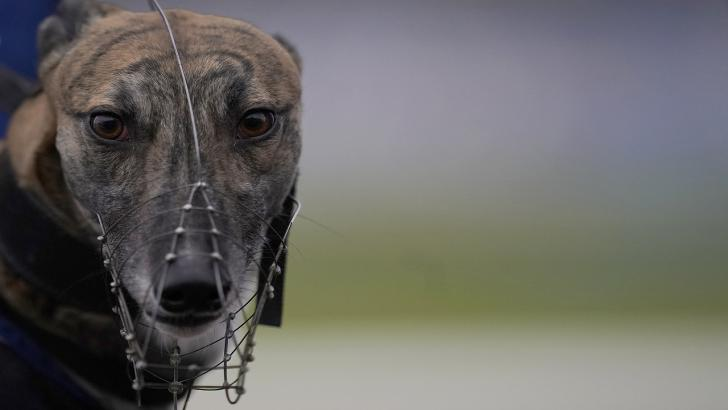 Greyhound Derby tips