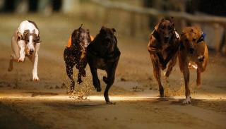 greyhound racing action