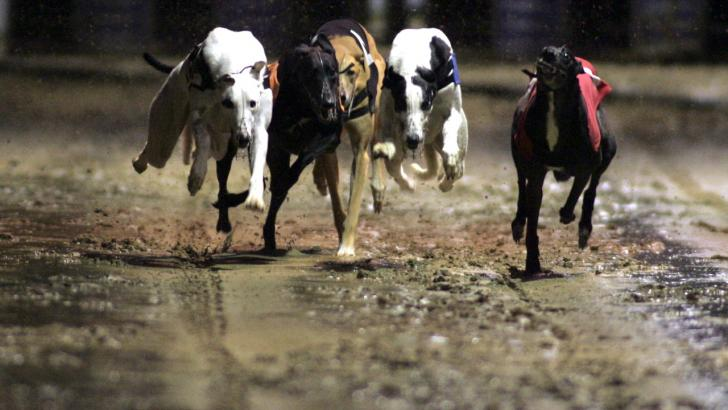 Greyhounds running