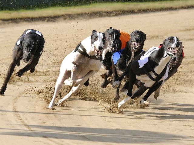 Henlow dogs betting on sports virginia tech north carolina betting line