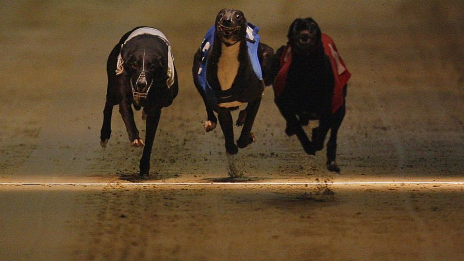 Three Greyhounds finishing in line